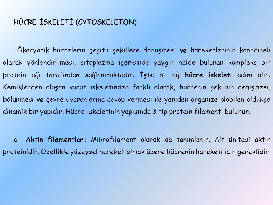 HÜCRE İSKELETİ (CYTOSKELETON) Ökaryotik hücrelerin çeşitli şekillere dönüşmesi ve hareketlerinin koordineli olarak yönlendirilmesi, sitoplazma içerisi