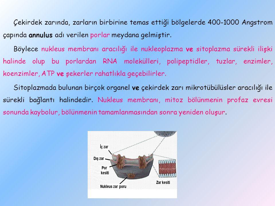 Çekirdek zarında, zarların birbirine temas ettiği bölgelerde 400-1000 Angstrom çapında annulus adı verilen porlar meydana gelmiştir. Böylece nukleus m