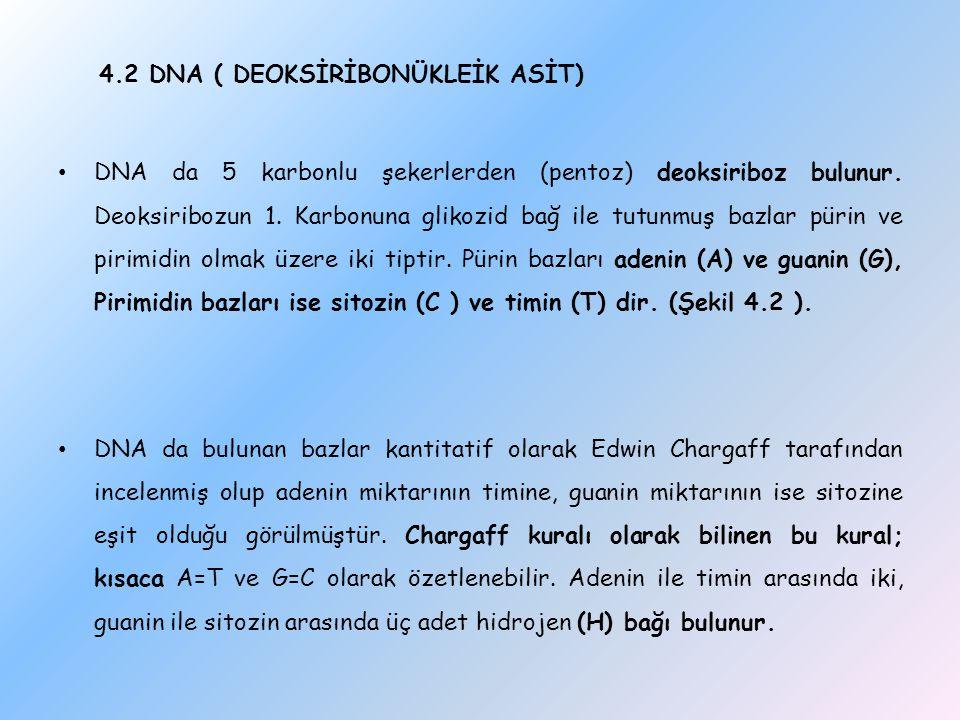 4.2 DNA ( DEOKSİRİBONÜKLEİK ASİT) DNA da 5 karbonlu şekerlerden (pentoz) deoksiriboz bulunur. Deoksiribozun 1. Karbonuna glikozid bağ ile tutunmuş baz