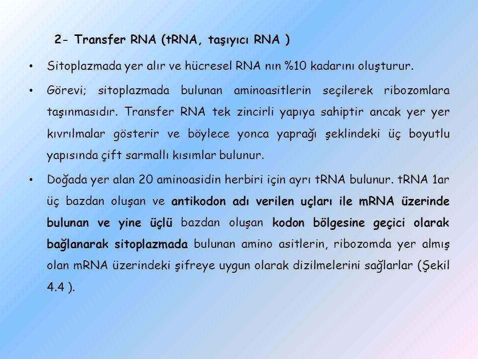 2- Transfer RNA (tRNA, taşıyıcı RNA ) Sitoplazmada yer alır ve hücresel RNA nın %10 kadarını oluşturur. Görevi; sitoplazmada bulunan aminoasitlerin se