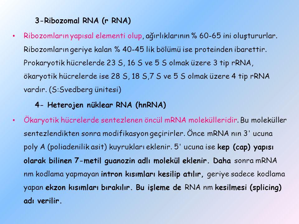 3-Ribozomal RNA (r RNA) Ribozomların yapısal elementi olup, ağırlıklarının % 60-65 ini oluştururlar. Ribozomların geriye kalan % 40-45 lik bölümü ise