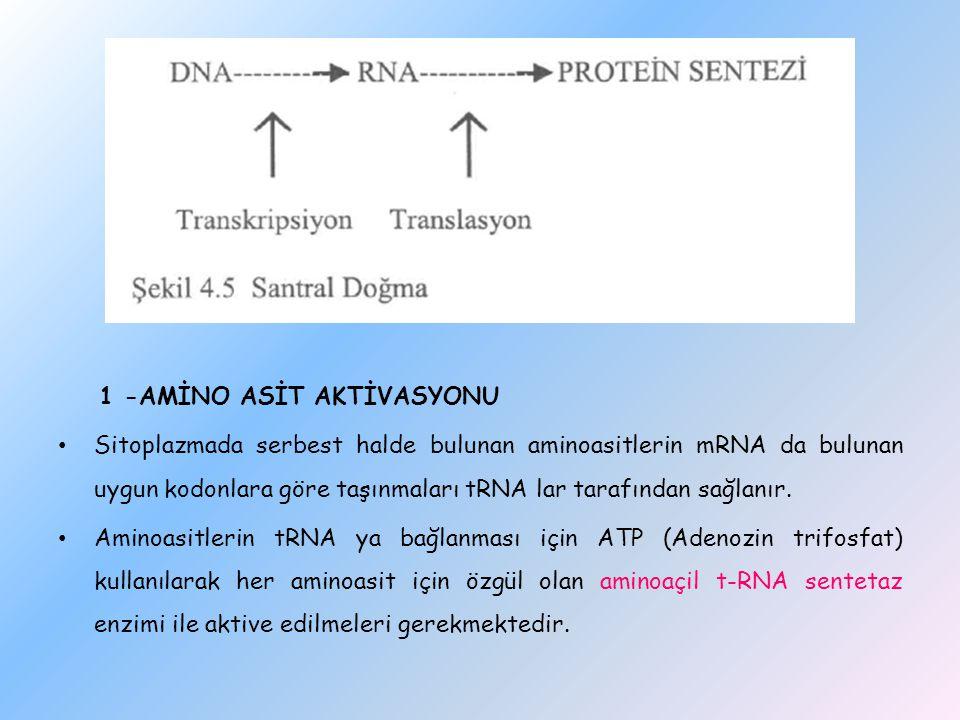 1 -AMİNO ASİT AKTİVASYONU Sitoplazmada serbest halde bulunan aminoasitlerin mRNA da bulunan uygun kodonlara göre taşınmaları tRNA lar tarafından sağla