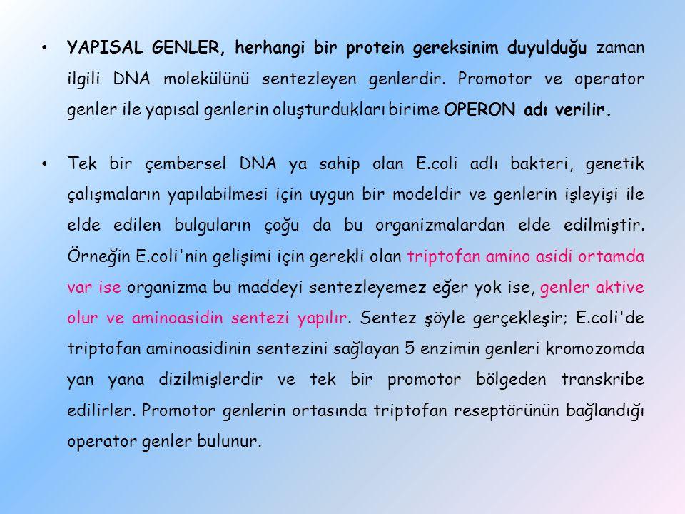 YAPISAL GENLER, herhangi bir protein gereksinim duyulduğu zaman ilgili DNA molekülünü sentezleyen genlerdir. Promotor ve operator genler ile yapısal g