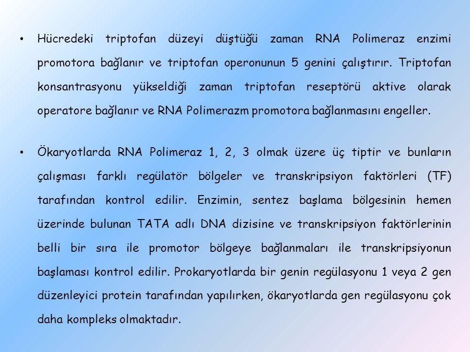 Hücredeki triptofan düzeyi düştüğü zaman RNA Polimeraz enzimi promotora bağlanır ve triptofan operonunun 5 genini çalıştırır. Triptofan konsantrasyonu