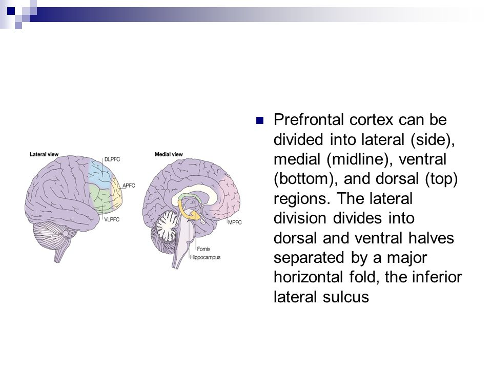 Prefrontal cortex can be divided into lateral (side), medial (midline), ventral (bottom), and dorsal (top) regions. The lateral division divides into