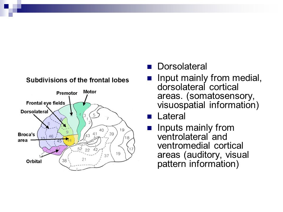 Dorsolateral Input mainly from medial, dorsolateral cortical areas.