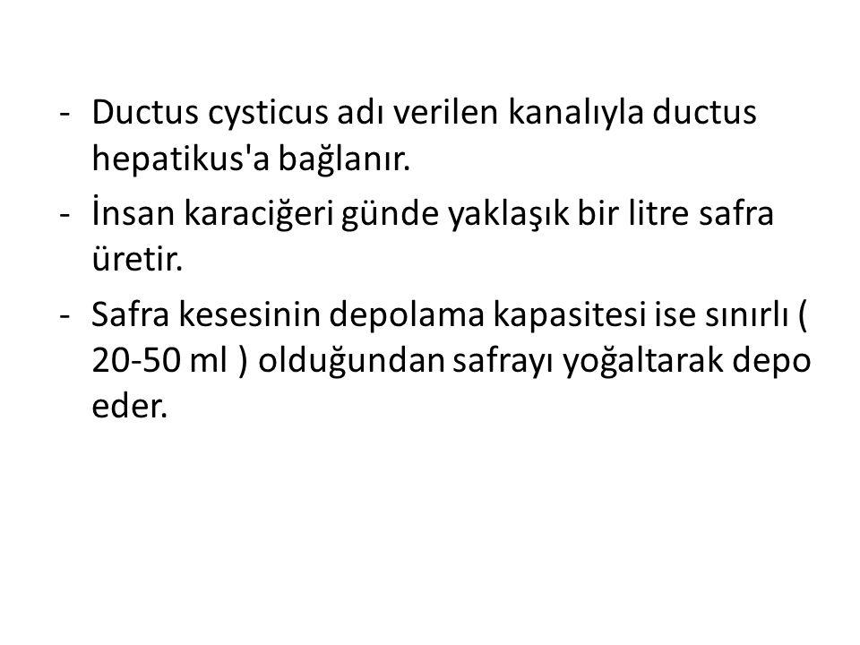 -Ductus cysticus adı verilen kanalıyla ductus hepatikus'a bağlanır. -İnsan karaciğeri günde yaklaşık bir litre safra üretir. -Safra kesesinin depolama