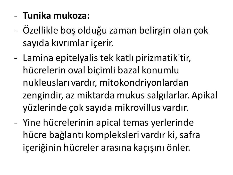 -Tunika mukoza: -Özellikle boş olduğu zaman belirgin olan çok sayıda kıvrımlar içerir. -Lamina epitelyalis tek katlı pirizmatik'tir, hücrelerin oval b
