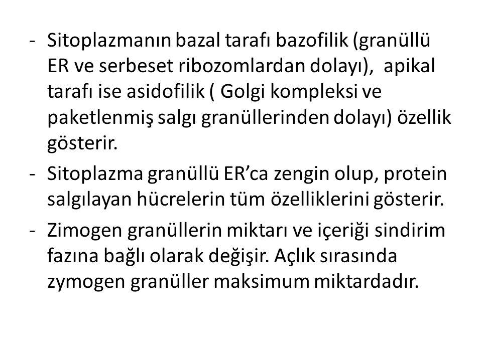 -Sitoplazmanın bazal tarafı bazofilik (granüllü ER ve serbeset ribozomlardan dolayı), apikal tarafı ise asidofilik ( Golgi kompleksi ve paketlenmiş sa