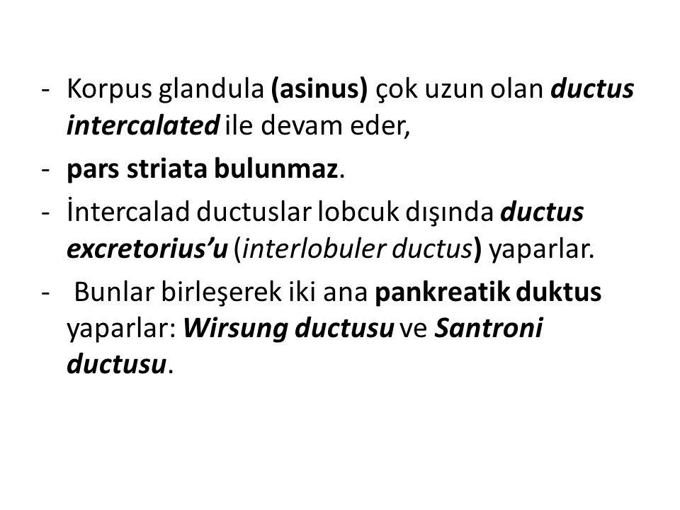 -Korpus glandula (asinus) çok uzun olan ductus intercalated ile devam eder, -pars striata bulunmaz. -İntercalad ductuslar lobcuk dışında ductus excret