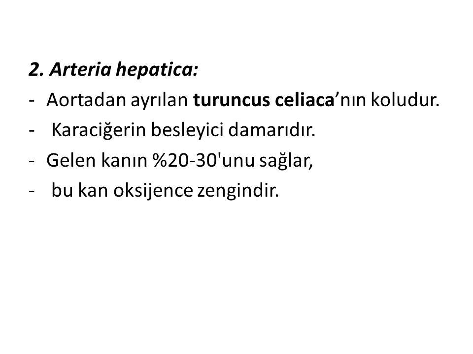 2. Arteria hepatica: -Aortadan ayrılan turuncus celiaca'nın koludur. - Karaciğerin besleyici damarıdır. -Gelen kanın %20-30'unu sağlar, - bu kan oksij