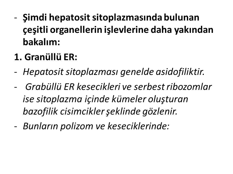 -Şimdi hepatosit sitoplazmasında bulunan çeşitli organellerin işlevlerine daha yakından bakalım: 1. Granüllü ER: -Hepatosit sitoplazması genelde asido