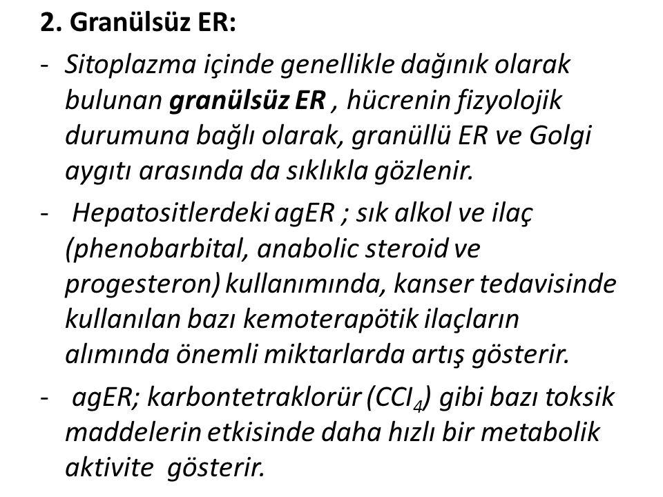 2. Granülsüz ER: -Sitoplazma içinde genellikle dağınık olarak bulunan granülsüz ER, hücrenin fizyolojik durumuna bağlı olarak, granüllü ER ve Golgi ay