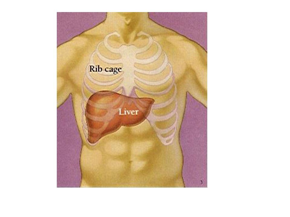1.Karaciğer'in stroma'sı : -Karaciğer en dıştan peritonun visceral yaprağı ile sarılmıştır (diafragmaya temas ettiği dar bir alan hariç).