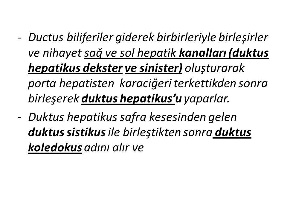 -Ductus biliferiler giderek birbirleriyle birleşirler ve nihayet sağ ve sol hepatik kanalları (duktus hepatikus dekster ve sinister) oluşturarak porta