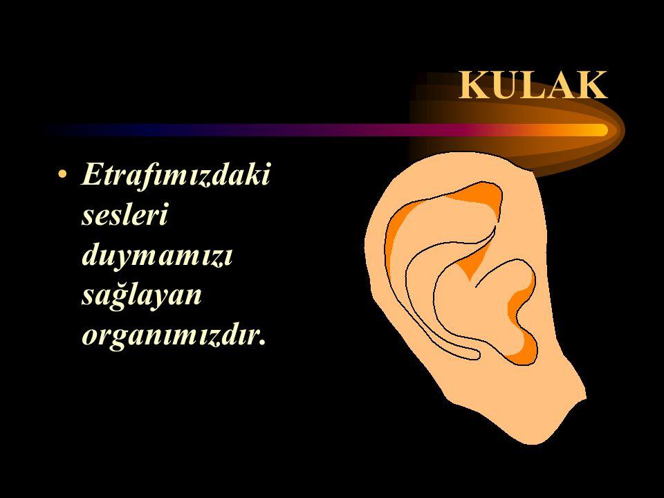 KULAK Etrafımızdaki sesleri duymamızı sağlayan organımızdır.