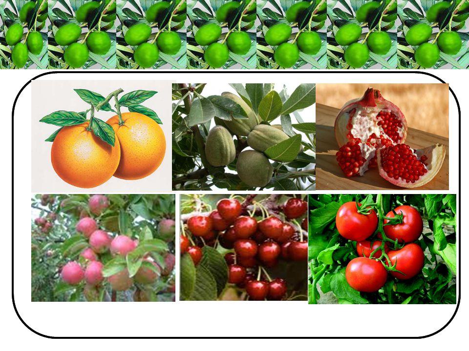 Muğla İlinde yaklaşık 12,3 milyon adet zeytin ağaç varlığı bulunmaktadır.