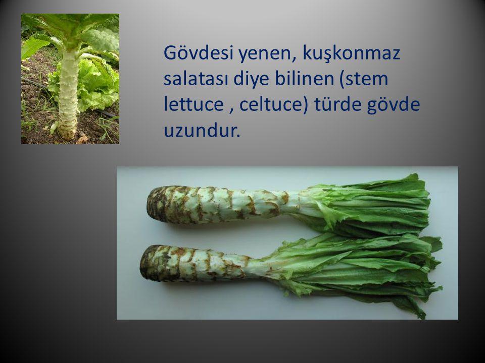 Gövdesi yenen, kuşkonmaz salatası diye bilinen (stem lettuce, celtuce) türde gövde uzundur.