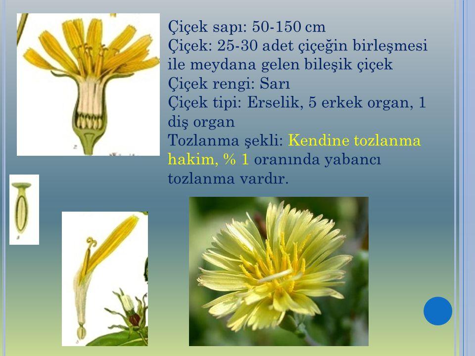 Çiçek sapı: 50-150 cm Çiçek: 25-30 adet çiçeğin birleşmesi ile meydana gelen bileşik çiçek Çiçek rengi: Sarı Çiçek tipi: Erselik, 5 erkek organ, 1 diş