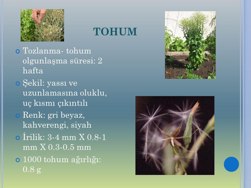 TOHUM Tozlanma- tohum olgunlaşma süresi: 2 hafta Şekil: yassı ve uzunlamasına oluklu, uç kısmı çıkıntılı Renk: gri beyaz, kahverengi, siyah İrilik: 3-