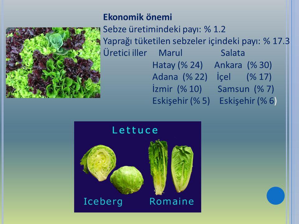 Ekonomik önemi Sebze üretimindeki payı: % 1.2 Yaprağı tüketilen sebzeler içindeki payı: % 17.3 Üretici iller Marul Salata Hatay (% 24) Ankara (% 30) A