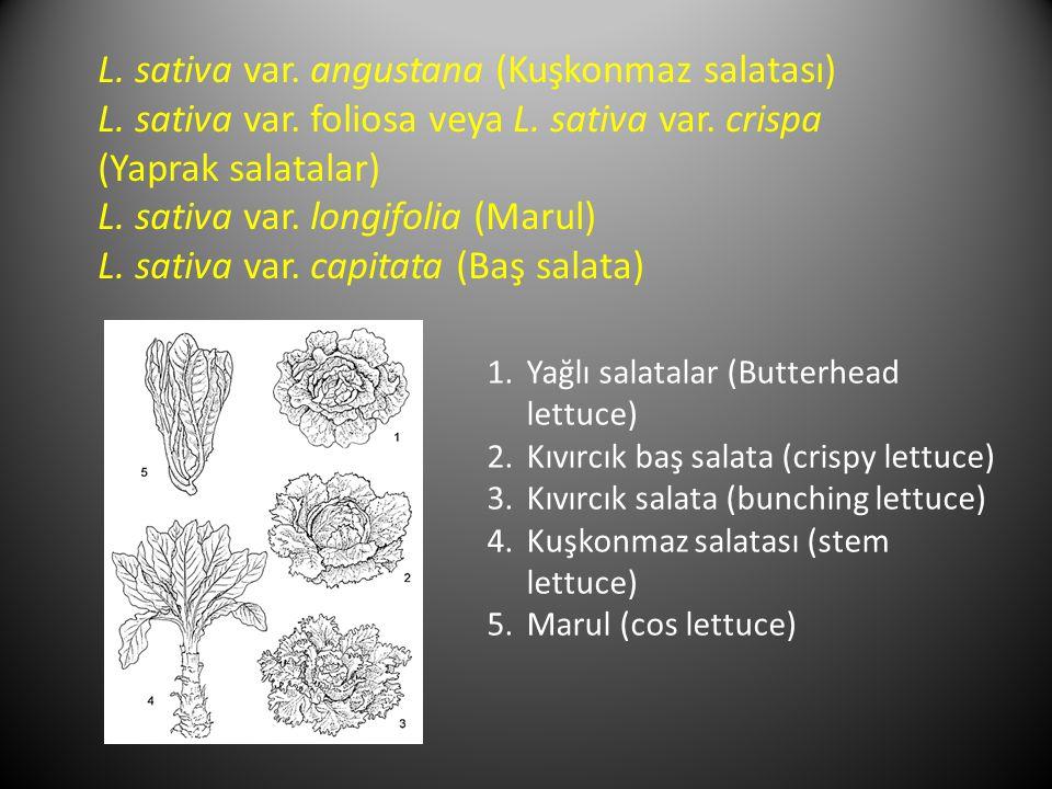 L. sativa var. angustana (Kuşkonmaz salatası) L. sativa var. foliosa veya L. sativa var. crispa (Yaprak salatalar) L. sativa var. longifolia (Marul) L