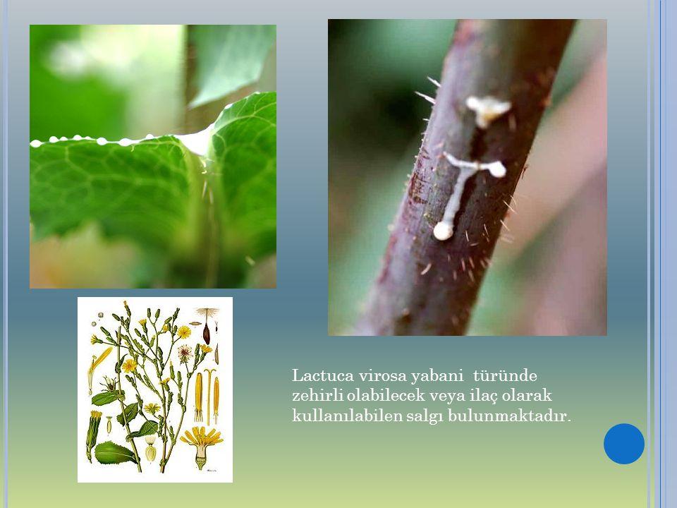 Lactuca virosa yabani türünde zehirli olabilecek veya ilaç olarak kullanılabilen salgı bulunmaktadır.