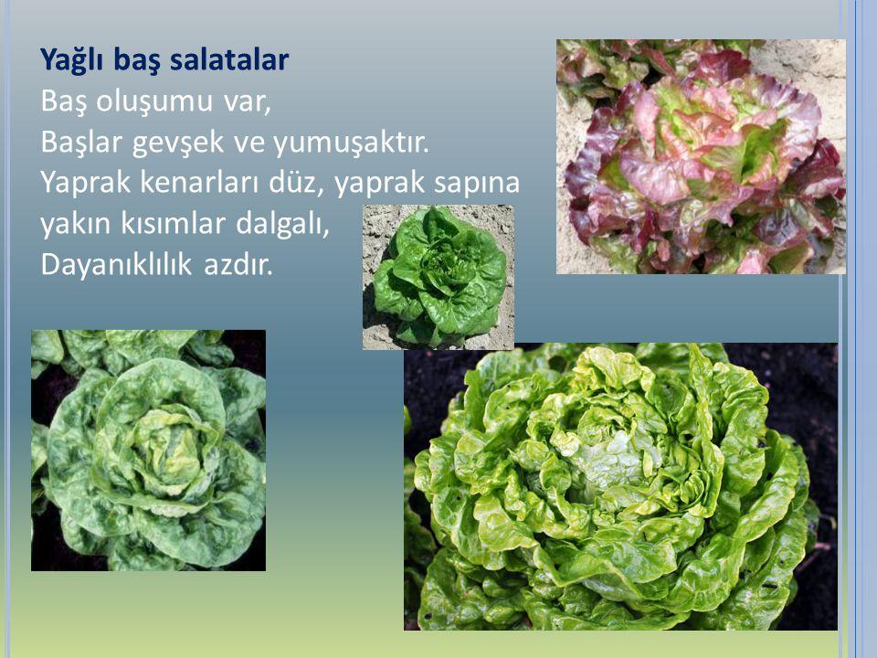 Yağlı baş salatalar Baş oluşumu var, Başlar gevşek ve yumuşaktır. Yaprak kenarları düz, yaprak sapına yakın kısımlar dalgalı, Dayanıklılık azdır.