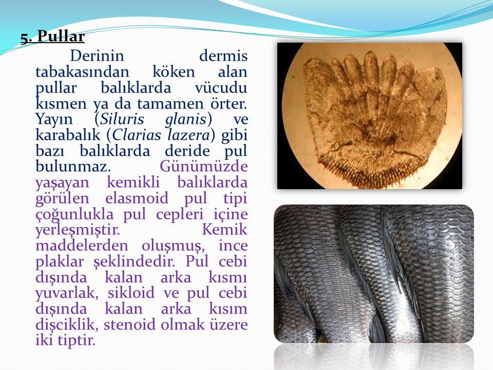5. Pullar Derinin dermis tabakasından köken alan pullar balıklarda vücudu kısmen ya da tamamen örter. Yayın (Siluris glanis) ve karabalık (Clarias laz