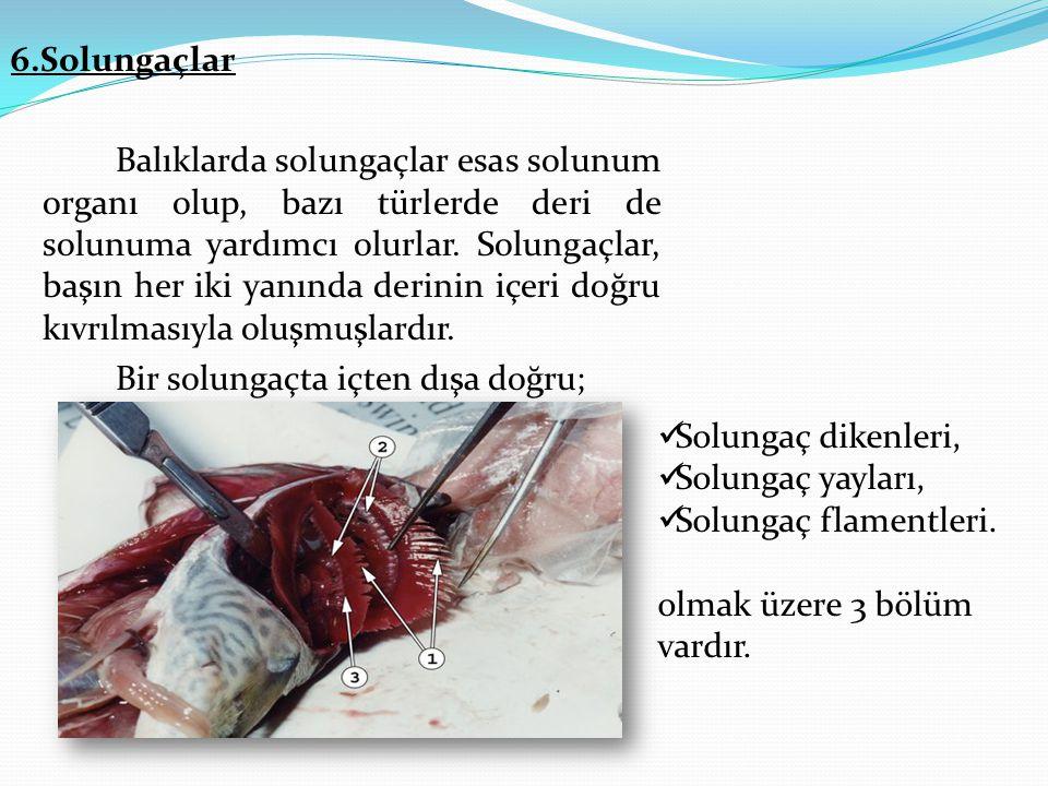 6.Solungaçlar Balıklarda solungaçlar esas solunum organı olup, bazı türlerde deri de solunuma yardımcı olurlar.