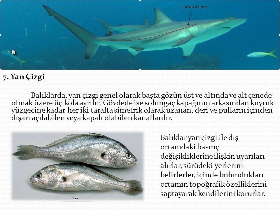 7. Yan Çizgi Balıklarda, yan çizgi genel olarak başta gözün üst ve altında ve alt çenede olmak üzere üç kola ayrılır. Gövdede ise solungaç kapağının a