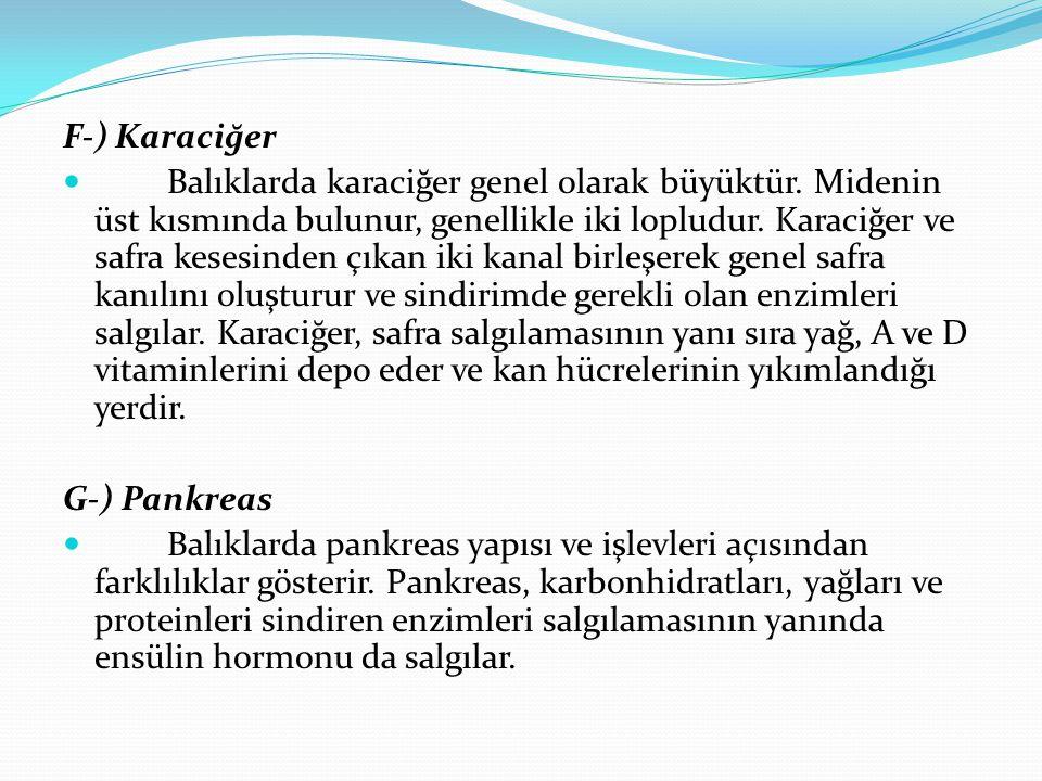 F-) Karaciğer Balıklarda karaciğer genel olarak büyüktür.