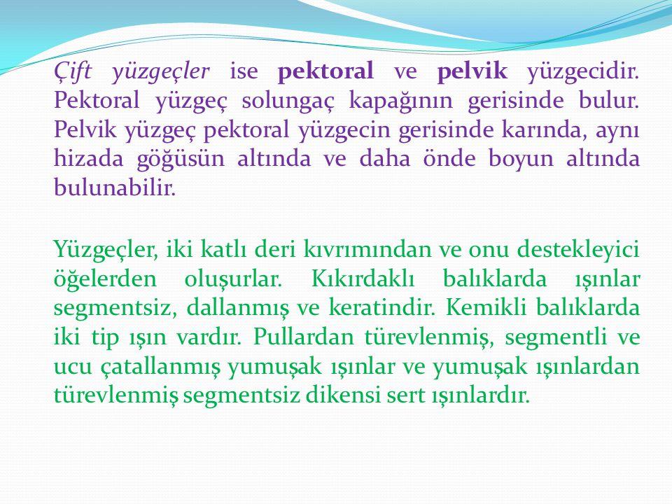 B-) İÇ MORFOLOJİK YAPI 1.İskelet Balıklarda iskelet, dermal iskelet ve iç iskelet olmak üzere iki kısımdan oluşur.