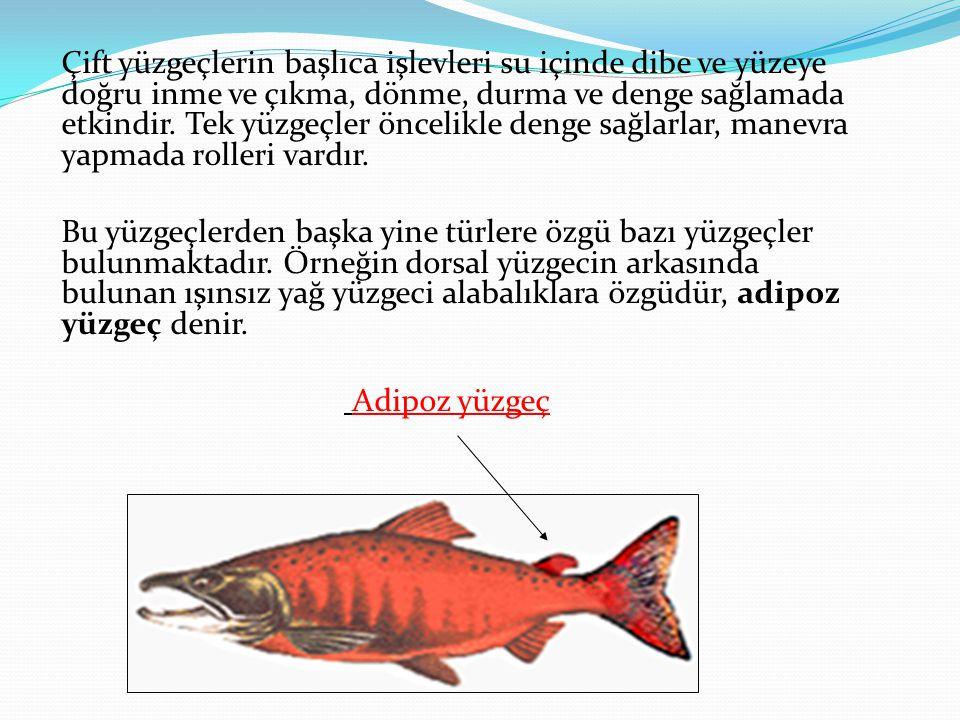2.Kaslar Balıklarda kaslar işlevlerine göre istemli ve istemsiz olarak ikiye ayrılır.
