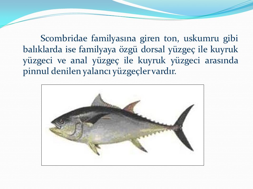 Scombridae familyasına giren ton, uskumru gibi balıklarda ise familyaya özgü dorsal yüzgeç ile kuyruk yüzgeci ve anal yüzgeç ile kuyruk yüzgeci arasında pinnul denilen yalancı yüzgeçler vardır.