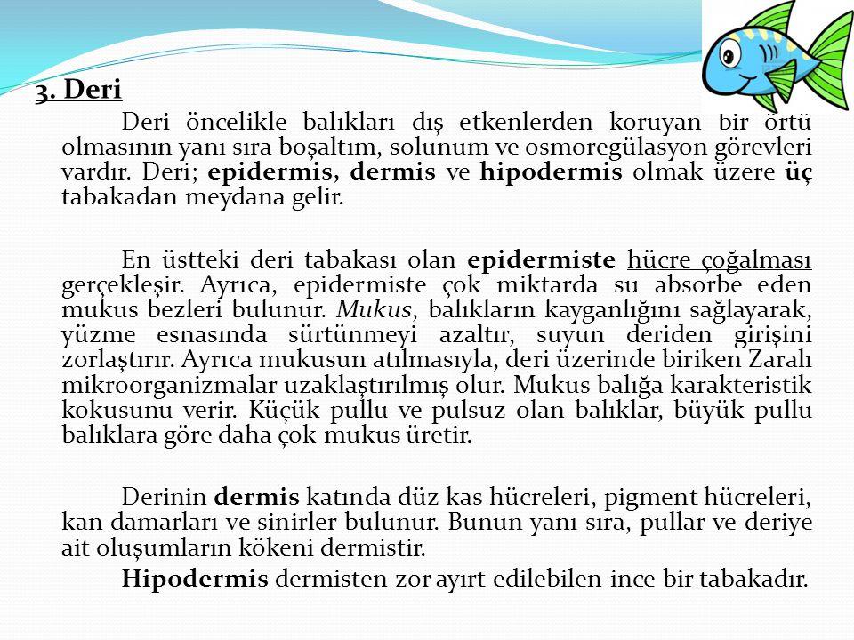 3. Deri Deri öncelikle balıkları dış etkenlerden koruyan bir örtü olmasının yanı sıra boşaltım, solunum ve osmoregülasyon görevleri vardır. Deri; epid
