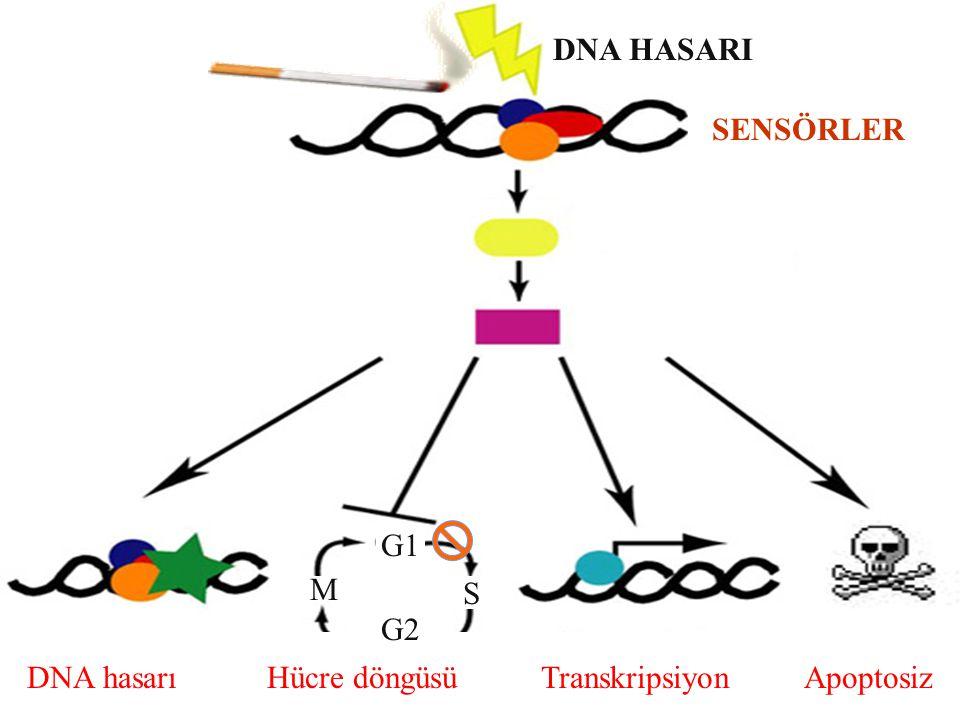DNA hasarı Hücre döngüsü Transkripsiyon Apoptosiz DNA HASARI SENSÖRLER G2 M S G1