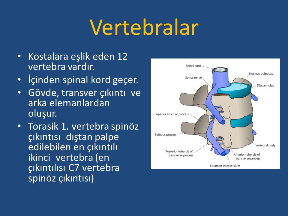 Vertebralar Kostalara eşlik eden 12 vertebra vardır. İçinden spinal kord geçer. Gövde, transver çıkıntı ve arka elemanlardan oluşur. Torasik 1. verteb