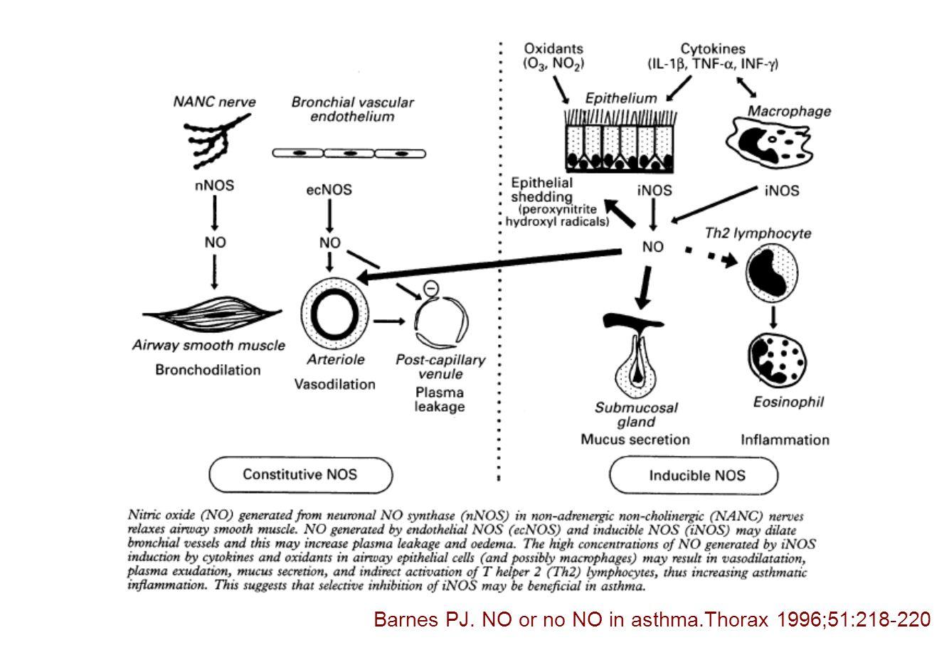 KOAH ve eNO Astımdan düşük (sigara içen veya içmeyen) – normalden farklı değil Sigara içimi – eNOS downregulasyonu Artmış oksidatif stres nedeniyle NO'nun peroksinitrite dönüşerek harcanması unstabil KOAH – stabile göre yüksek NO