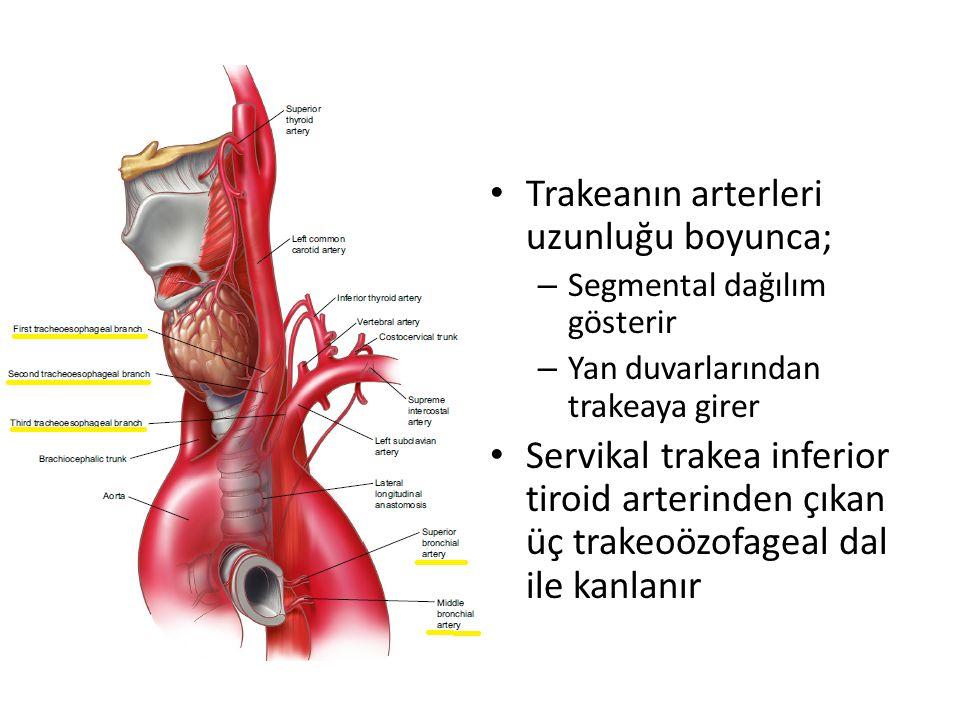 Trakeanın arterleri uzunluğu boyunca; – Segmental dağılım gösterir – Yan duvarlarından trakeaya girer Servikal trakea inferior tiroid arterinden çıkan üç trakeoözofageal dal ile kanlanır