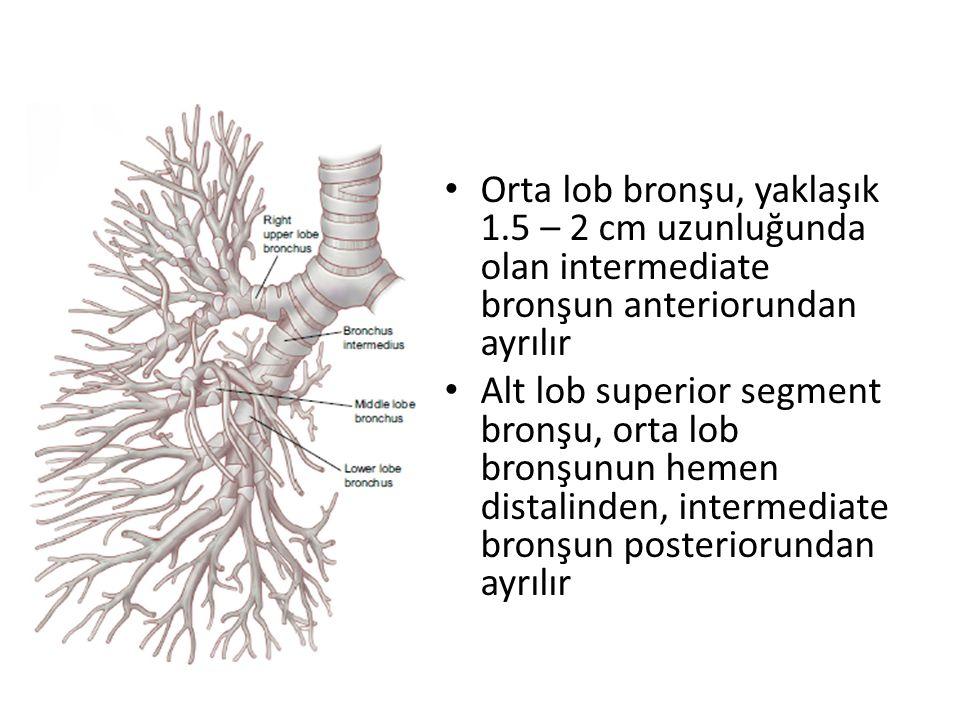 Orta lob bronşu, yaklaşık 1.5 – 2 cm uzunluğunda olan intermediate bronşun anteriorundan ayrılır Alt lob superior segment bronşu, orta lob bronşunun hemen distalinden, intermediate bronşun posteriorundan ayrılır