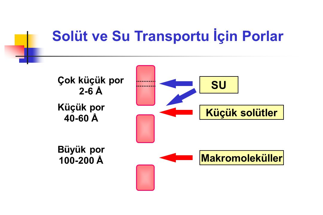 Solüt ve Su Transportu İçin Porlar Çok küçük por 2-6 Å Küçük por 40-60 Å Büyük por 100-200 Å Makromoleküller Küçük solütler SU
