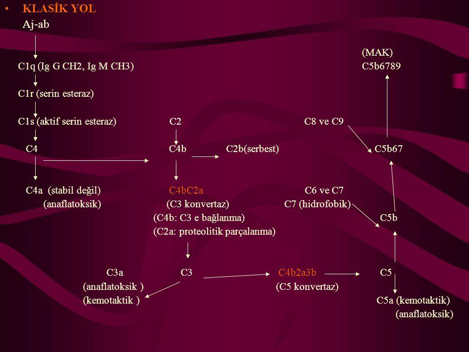 KLASİK YOL Aj-ab (MAK) C1q (Ig G CH2, Ig M CH3) C5b6789 C1r (serin esteraz) C1s (aktif serin esteraz) C2 C8 ve C9 C4 C4b C2b(serbest) C5b67 C4a (stabi