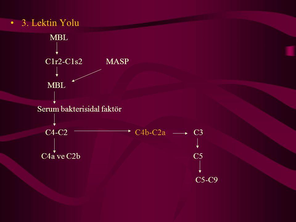 3. Lektin Yolu MBL C1r2-C1s2 MASP MBL Serum bakterisidal faktör C4-C2 C4b-C2a C3 C4a ve C2b C5 C5-C9