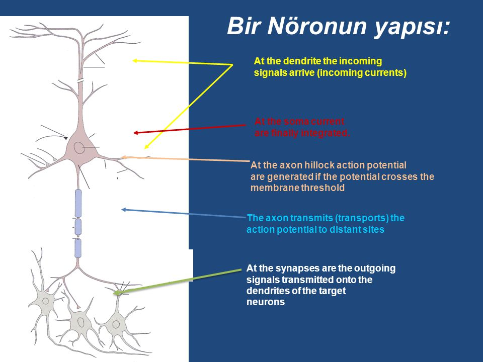 Nöron Tipleri Sensory Neuronscarry messages to the brain about sensations Motor Neuronscarry messages from the brain to the muscles and glands Intrane