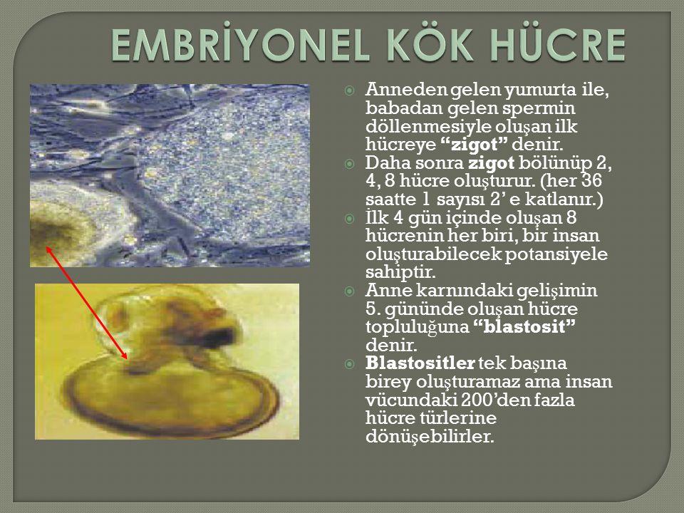  KÖK HÜCRELER ÜÇ KAYNAKTAN ELDE EDİLİR. İnsan ve hayvan embriyosundan (anne karnında 5-6 hücre aşamasındaki organizmadan kök hücre elde edilir; buna