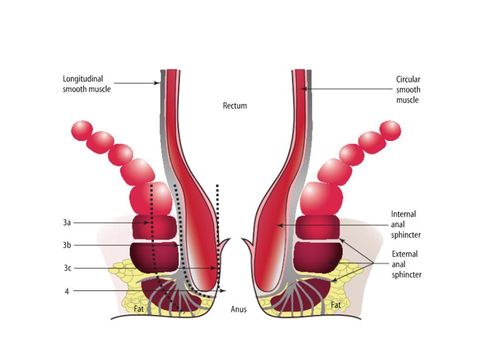 Perine Anatomisi Anal spinkter kompleksi yaklaşık 3-4 cm dir.