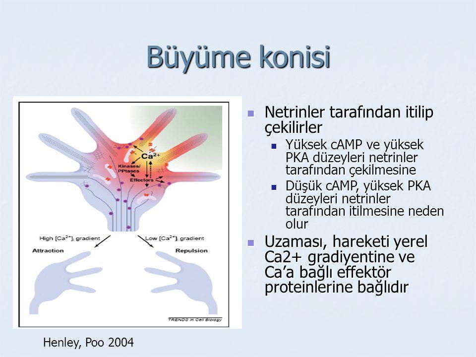 Efrinler Korteksin tabakalaşmasında rol oynar Sanes et al. 2000