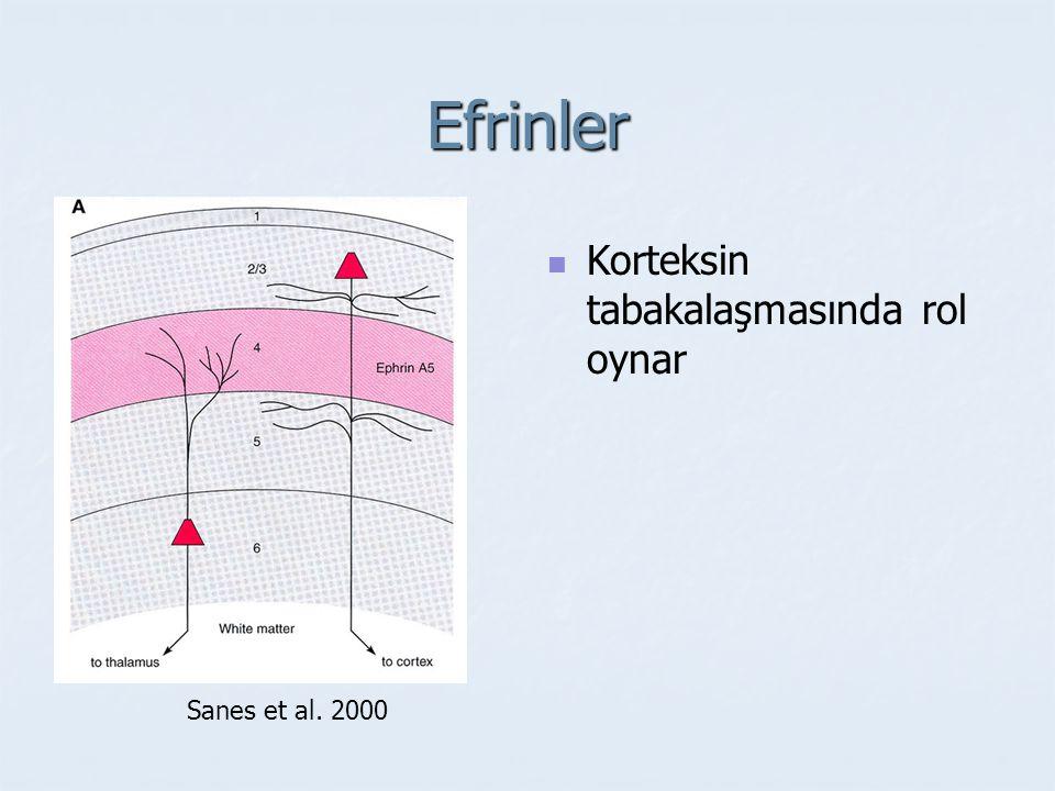 Nörotrofinler Nöron yaşamı ve ölümü Sinaps stabilizasyonu ve eliminasyonu Büyüme ve küçülme süreçleri