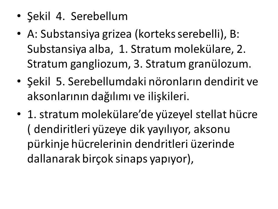 Şekil 4. Serebellum A: Substansiya grizea (korteks serebelli), B: Substansiya alba, 1. Stratum molekülare, 2. Stratum gangliozum, 3. Stratum granülozu